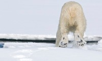 Collecting Polar Bear DNA from tracks on snow